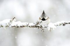 有顶饰山雀在冬天,当下雪时 库存照片