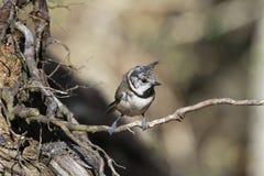 有顶饰山雀Lophophanes cristatus坐稀薄的树根 图库摄影