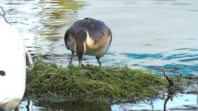 有顶饰格里布, podiceps cristatus,在巢的鸭子 股票视频