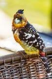 有顶饰热带巨嘴鸟 库存照片