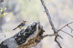 有顶饰热带巨嘴鸟& x28; Trachyphonus vaillantii & x29;栖息在树 免版税库存图片