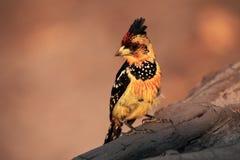 有顶饰热带巨嘴鸟Trachyphonus vaillantii坐一个干燥分支 免版税图库摄影
