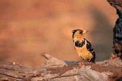 有顶饰热带巨嘴鸟Trachyphonus vaillantii 免版税库存图片