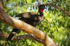 有顶饰管国,绣花底布purpurascens,蒂卡尔,危地马拉 从自然的野生生物动物场面 鸟的监视人在中美洲 罕见的双 库存图片