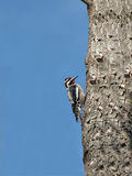有顶饰红色啄木鸟 免版税库存图片