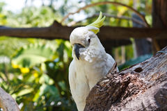 有顶饰美冠鹦鹉 图库摄影