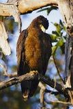 有顶饰蛇老鹰,从乌姆雷德Karhandla野生生物保护区,马哈拉施特拉,印度的Spilornis cheela 库存照片
