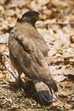 有顶饰蛇老鹰, Spilornis cheela, Bandhavgarh老虎储备,中央邦 免版税图库摄影