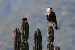 有顶饰长腿兀鹰在墨西哥 库存照片