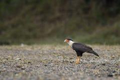 有顶饰长腿兀鹰- cheriway的长腿兀鹰 免版税库存图片