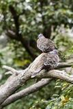 有顶饰鸽子在香港园 库存图片