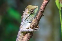 有顶饰绿蜥蜴 库存照片
