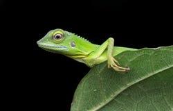 有顶饰绿蜥蜴 免版税库存照片