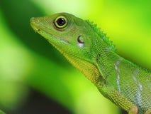 有顶饰绿蜥蜴 免版税库存图片