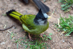 有顶饰Finchbill (Spizixos canifrons) 免版税库存照片