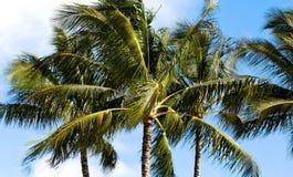 有风棕榈树 库存照片