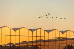 有飞行在之前在日落期间的鹅的温室 免版税库存图片