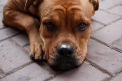 有食物片断的逗人喜爱的狗枪口在鼻子的 库存图片