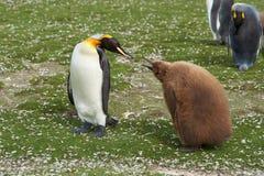有饥饿的小鸡的-福克兰群岛企鹅国王 免版税库存照片