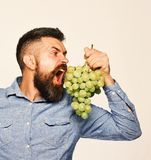 有饥饿的面孔的种葡萄并酿酒的人拿着葡萄 库存照片