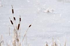 有香蒲的冻池塘 免版税库存图片