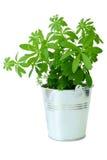 有香车叶草植物的一个金属桶 库存照片