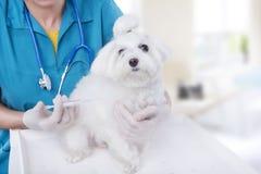 有马尔他品种小狗的狩医 库存图片
