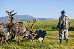 有驯鹿鞔具的驯鹿交配动物者在夏天寒带草原 Yamal 图库摄影