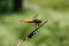 有驱体的清楚的追赶者depressa libellula 免版税图库摄影