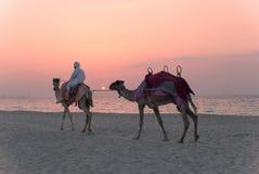 有骆驼的流浪者在海滩 库存照片