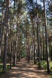 有高大的树木和蓝天`的s长的森林道路 免版税库存照片