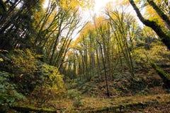 有高大的树木的年轻秋天森林与黄色叶子 图库摄影