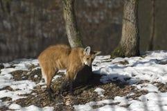 有鬃毛的狼 图库摄影