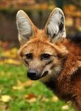 有鬃毛的狼 免版税库存照片