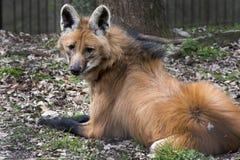 有鬃毛的狼 免版税图库摄影