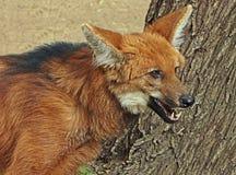 有鬃毛的狼 库存照片
