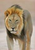 有鬃毛非洲黑色的狮子 库存照片