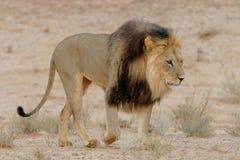 有鬃毛黑色的狮子 免版税库存图片