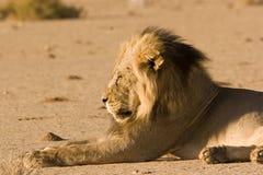有鬃毛黑色的狮子 免版税库存照片