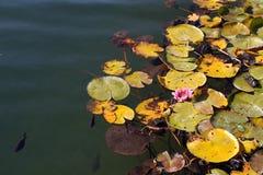 有鱼的人为池塘在Mezhigirya 库存图片