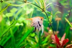 有鱼pterophyllum scalare的一个绿色美丽的被种植的热带淡水水族馆 库存照片