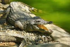 有鳄鱼的一个大公园,托雷莫利诺斯角,马拉加,西班牙 免版税图库摄影