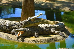 有鳄鱼的一个大公园,托雷莫利诺斯角,马拉加,西班牙 库存图片