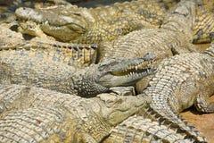 有鳄鱼的一个大公园,托雷莫利诺斯角,马拉加,西班牙 免版税库存图片