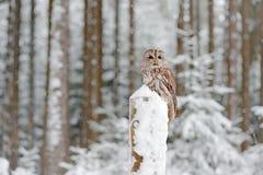 有鸟的冷的冬天森林 黄褐色的猫头鹰积雪在降雪在冬天期间,多雪的森林在背景,自然栖所中 Wildli 免版税库存照片