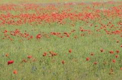 有鸦片的野花草甸 库存照片