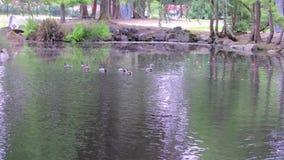有鸭子的公园池塘
