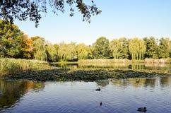 有鸭子的农村池塘 免版税库存图片