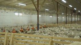 有鸭子的小牧场在家禽场 股票视频