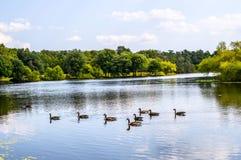 有鸭子的平静的湖 库存图片